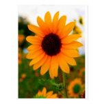 Sunflower Post Card