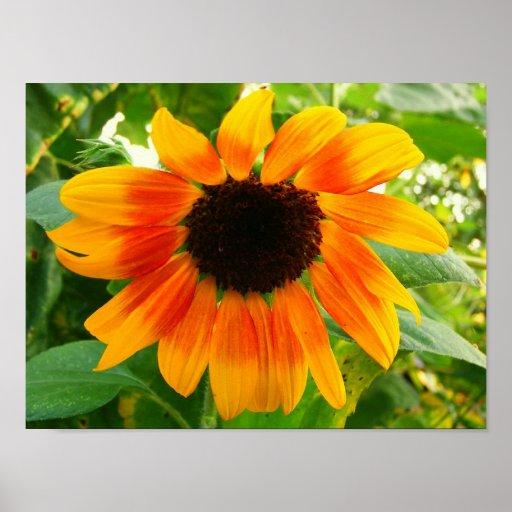 Sunflower - poster