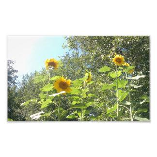 Sunflower Print Art Photo