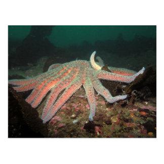 Sunflower Sea Star - Postcard