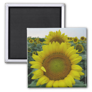 Sunflower Series 2 Inch Square Magnet