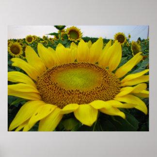 Sunflower Series Poster