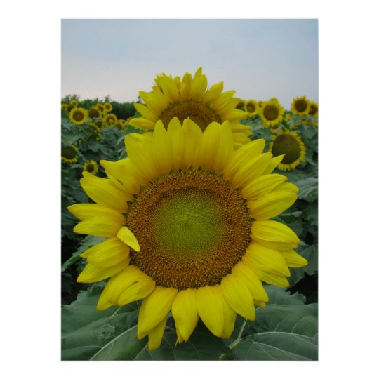Sunflower Series Poster