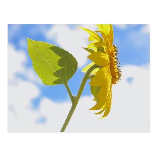 Sunflower Sky Postcard