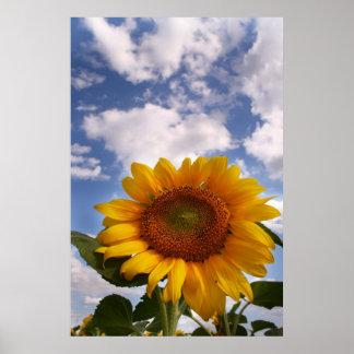 Sunflower Sky Poster
