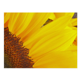Sunflower Sun Postcard