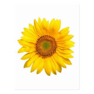 Sunflower, Sunflower Postcard