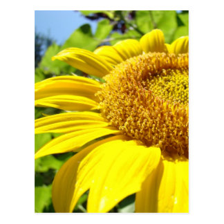 SUNFLOWER SunFlowers Sun Flowers Cards Gifts Mugs Postcard