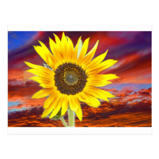 Sunflower Sunset Postcard