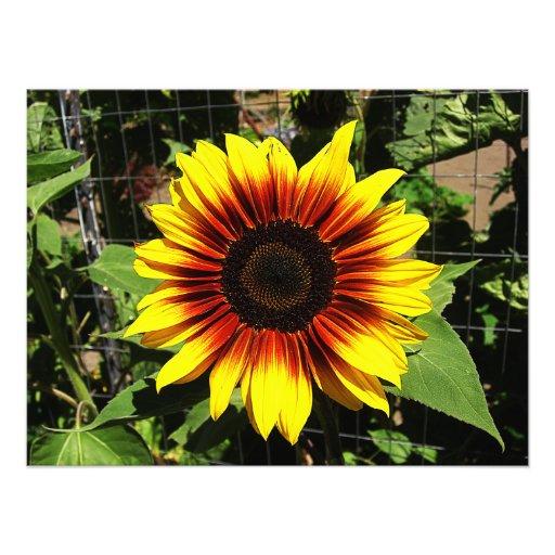 Sunflower Through the Fence Photo Print