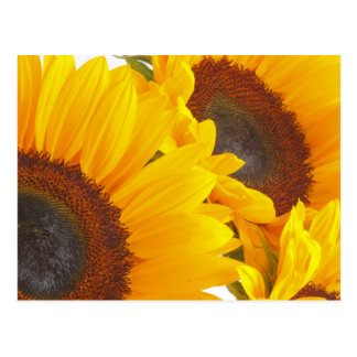 Sunflower Triplettes Postcard
