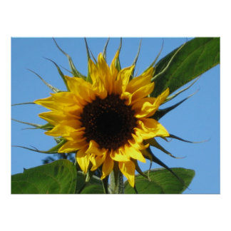 Sunflower - Value Poster Matte 20'' x 16''