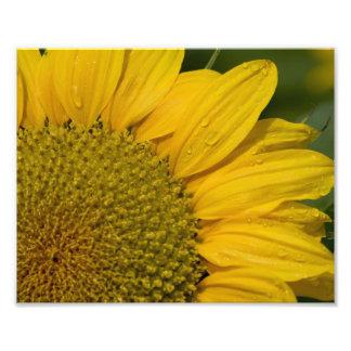 Sunflower With Raindrops Photo Print