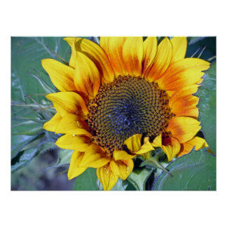 sunflower with water droplets poster