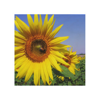 Sunflower Wood Canvases