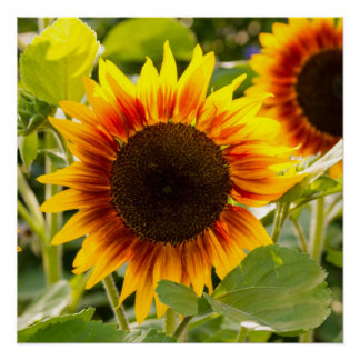 Sunflower Perfect Poster