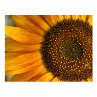 sunflowerFIL760 Postcard