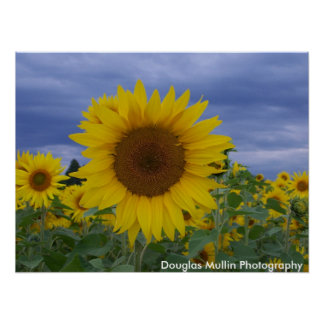 Sunflowers 029 poster