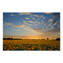 Sunflowers at Sunset 12x8 inches Poster