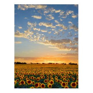 Sunflowers at Sunset Post Card
