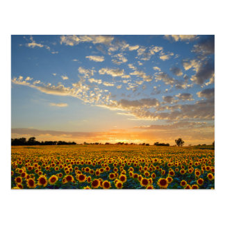 Sunflowers at Sunset Post Cards