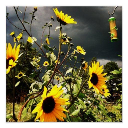 Sunflowers Before The Storm Clouds Photograph Print