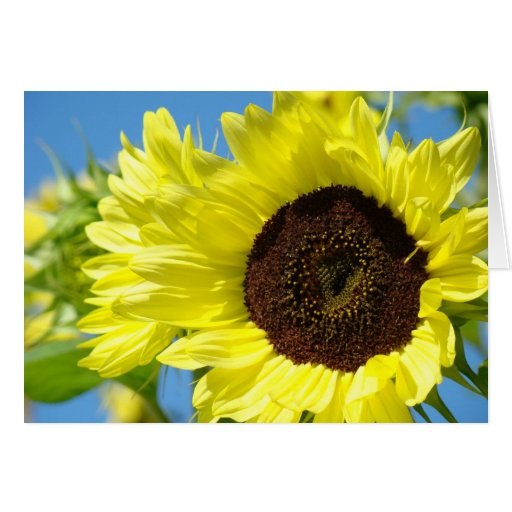 Sunflowers Cards Yellow Sunflower Garden Blue Sky