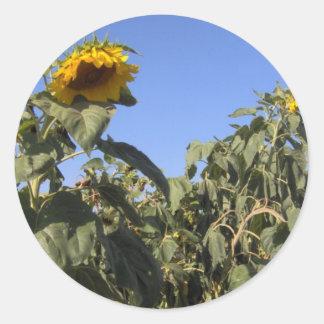 Sunflowers - Dunham, Quebec Classic Round Sticker