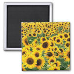 Sunflowers Field Square Refrigerator Magnets