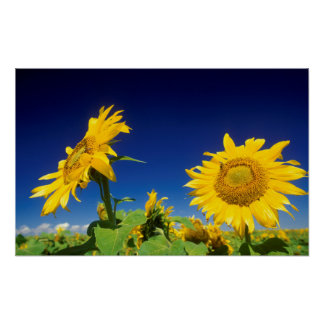 Sunflowers (Helianthus Annuus), Near Senekal Poster