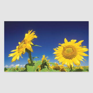 Sunflowers (Helianthus Annuus), Near Senekal Rectangular Sticker
