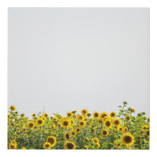 Sunflowers in a Field Faux Canvas Print
