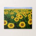 Sunflowers in Fargo, North Dakota
