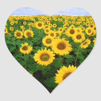 Sunflowers in Fargo, north Dakota Heart Sticker
