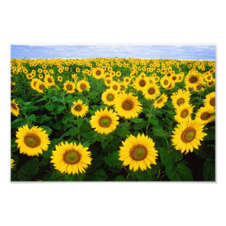 Sunflowers in Fargo, North Dakota Photo Print