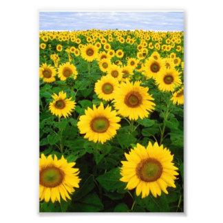 Sunflowers in Fargo, North Dakota Photograph