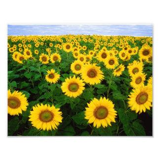 Sunflowers in Fargo, North Dakota Photo