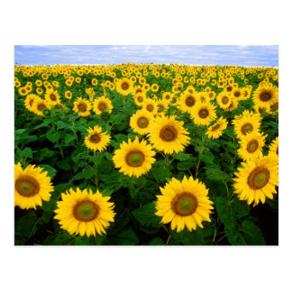 Sunflowers in Fargo, North Dakota Postcard