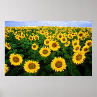 Sunflowers in Fargo, north Dakota Poster