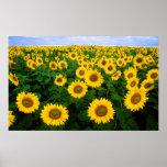 Sunflowers in Fargo, north Dakota Posters