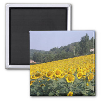 Sunflowers, magnet