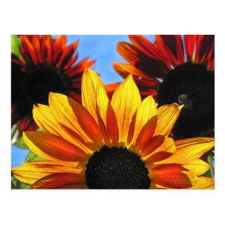 Sunflowers Post Card