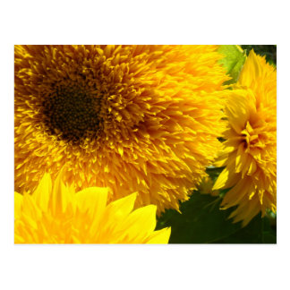 Sunflowers postcards Yellow Bright Colorful Flower
