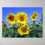 Sunflowers Print