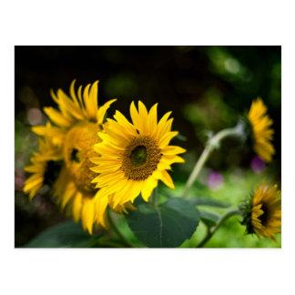 sunflowers soaking up the sun. postcards