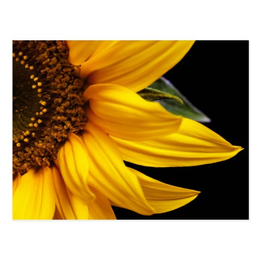 Sunflowers - Sunflower Customized Template Blank Post Card