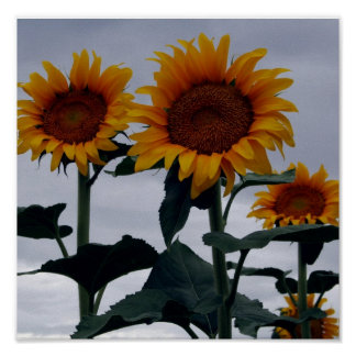 sunflowers-threesome poster