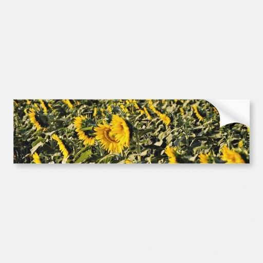 Sunflowers, Tuscany, Italy  flowers Bumper Stickers