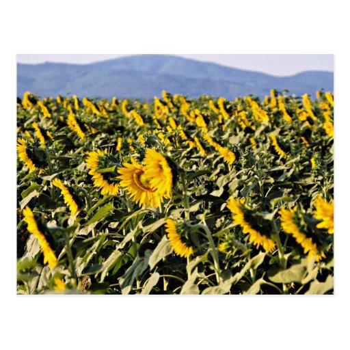 Sunflowers, Tuscany, Italy  flowers Postcard