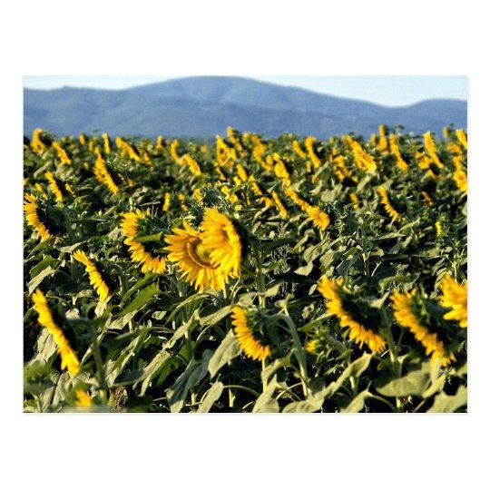 Sunflowers, Tuscany, Italy Postcard
